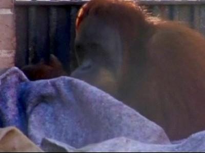 PrimatesWrapUpWarmInBrazil