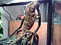 Camaleonchamaleoilisbarbatus