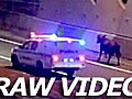 PoliceinHotPursuitofaCow