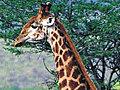 GiraffeMoviePrank