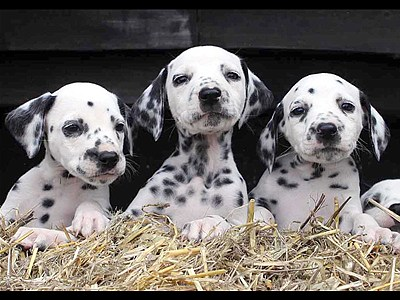 SeeingspotsDalmatiandelivers16pups