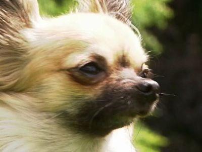 ChihuahuaSheepdog