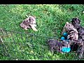 Bonniespuppiesplayingintheyard